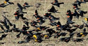 Most songbirds migrate after dark but red-winged and yellow-headed blackbirds (with brown-headed cowbirds) fly during the day Photo credit: Jim Williams