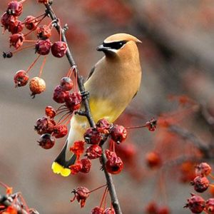 Crabapples supply much-needed calories in winter and early spring, and cedar waxwings may stop by for a meal. Photo credit: Jim Williams