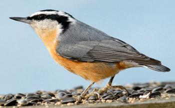 450_jim-williams_red-breasted-nuthatch