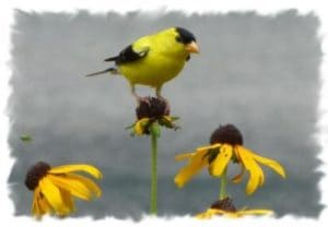 American Goldfinch Photo by Jim Martin