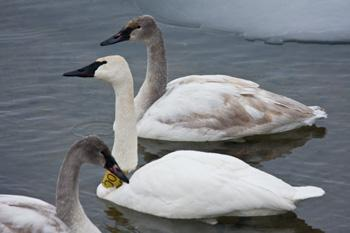 A trumpeter parent and two offspring