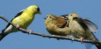 Male goldfinch feeds young