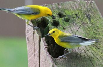 Pair of prothonotary warblers