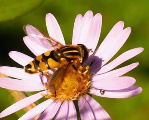 Syrphid fly on aster