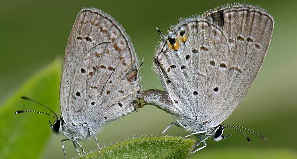 Mating Eastern Tailed-Blue Butterflies.