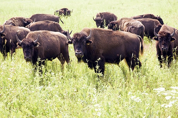Buffalo at the Belwin Conservancy