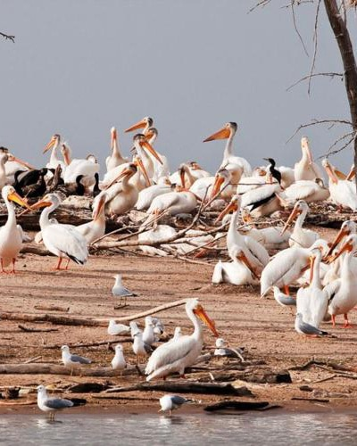 White Pelicans on the Mississippi River